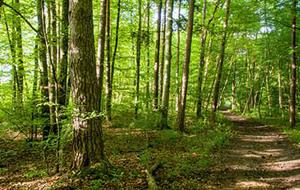 Ein Gehpfad inmitten eines lichten Waldes