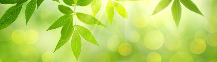 Herabhängende Blätter mit dazwischen einfallenden Sonnenstrahlen