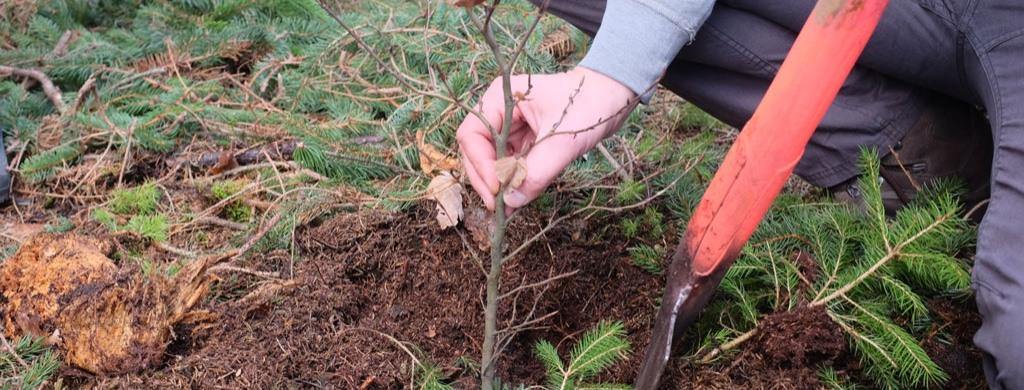 Person setzt mit Hilfe einer Schaufel einen kleinen Baum in die Erde