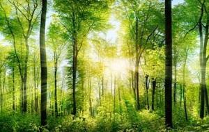 Ein Wald mit einfallenden Sonnenstrahlen zwischen den Baumwipfeln